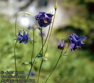 aquilegia_vulgaris_4644